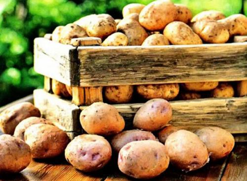 posev i prorashivaniya kartofelia